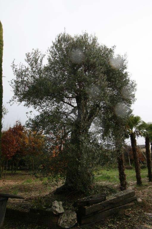 Vivaista piante e fiori padova e venezia for Vendita piante ulivo